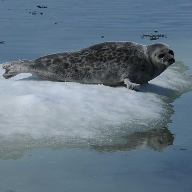 A seal floats on a chunk of ice.