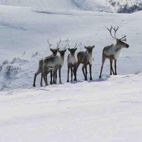A small herd of caribou on the winter tundra.