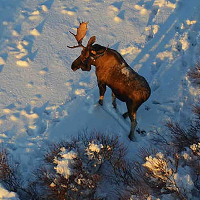 A bull moose in winter, aerial survey
