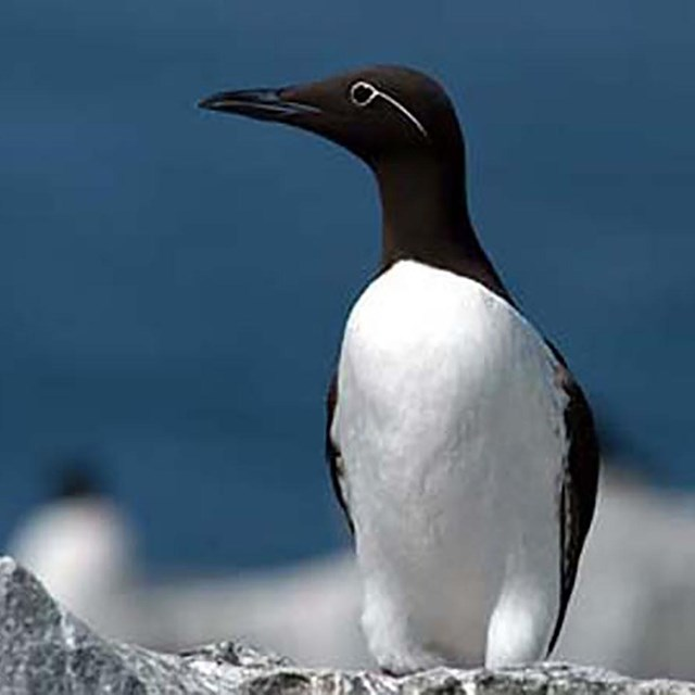 A group of black and white murres.