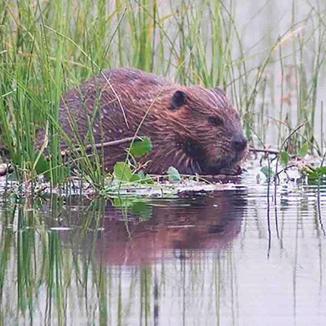 A beaver in a pond.