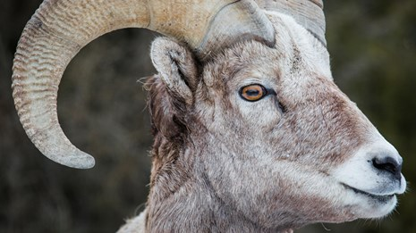 Close-up of a bighorn sheep's face.