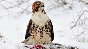A brown and white hawk sits upright on the ground; at its feet is a snow-covered mammal carcass
