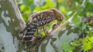 A brown-and-white striped hawk leans down to feed its fuzzy-looking chick in a large, mottled tree