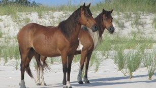 Two of Assateague's wild horses on the beach