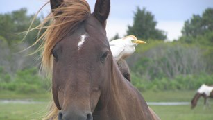 photo of horse with Cattle Egret on it's back