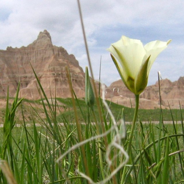 tall green prairie grasses with a white flower sway in front of badlands buttes.