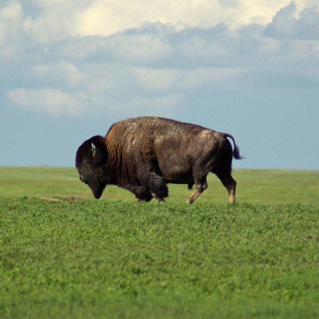 a lone bison walks through an open, grassy field with blue cloudy sky above.