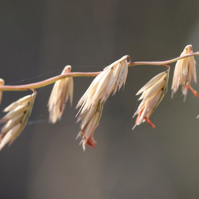 wispy seed pods dangle off of a central stem of brown grass.