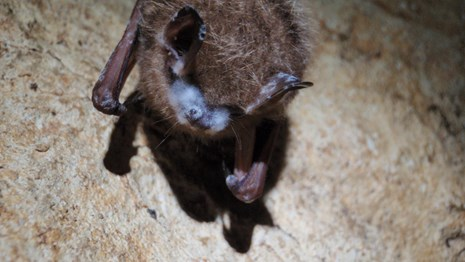tri-colored bat with white-nose syndrome