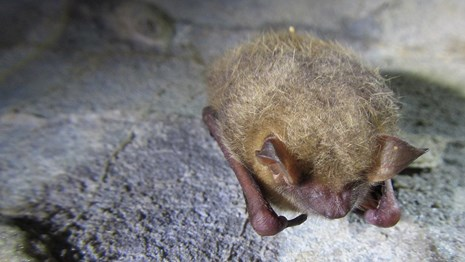 tri-colored bat on cave wall