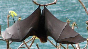 fruit bat hangs from tree
