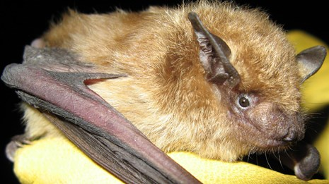 big brown bat held by researcher