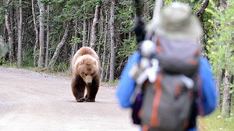 A bear approaches a visitor along a road at Brooks Camp in Katmai National Park and Preserve, Alaska