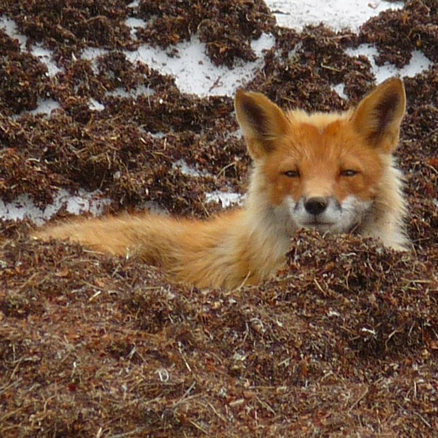 A sleeping fox waking from a nap.