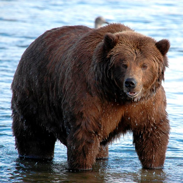 A brown bear stands in a shallow body of water.