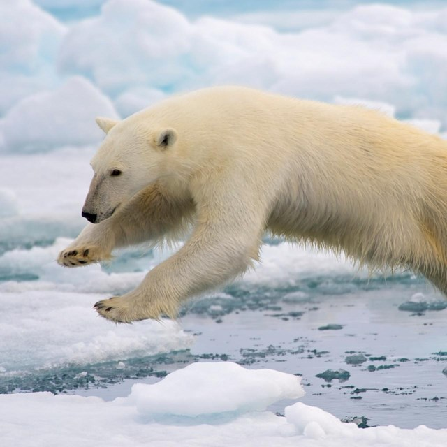 A polar bear jumping from an ice floe to another.