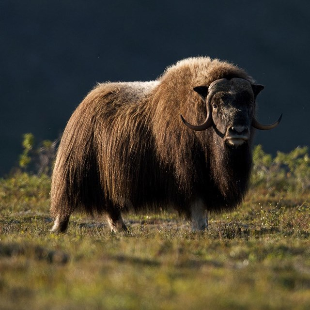 A muskox bathing in a golden stream of sunlight