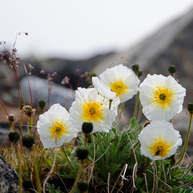 A row of white flowers with a yellow center.
