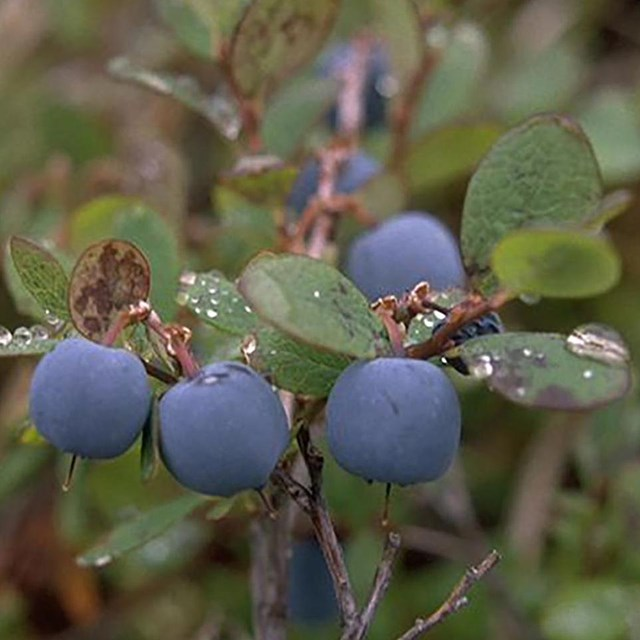 A handful of blueberries hang from a twig.