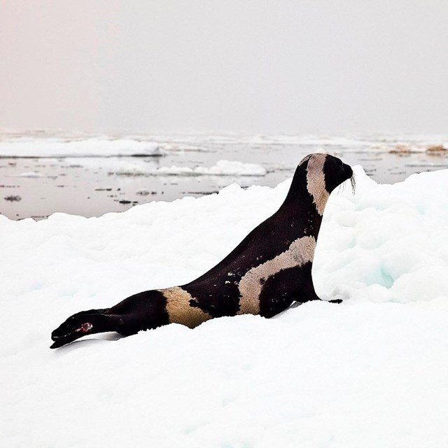 A dark seal with thick white strands of white fur along its body sits on an ice floe.