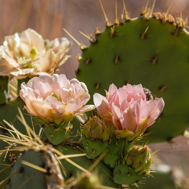 A prickly pear in bloom.