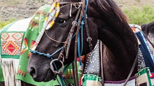 Appaloosa horse with traditional Nez Perce ceremonial garb.
