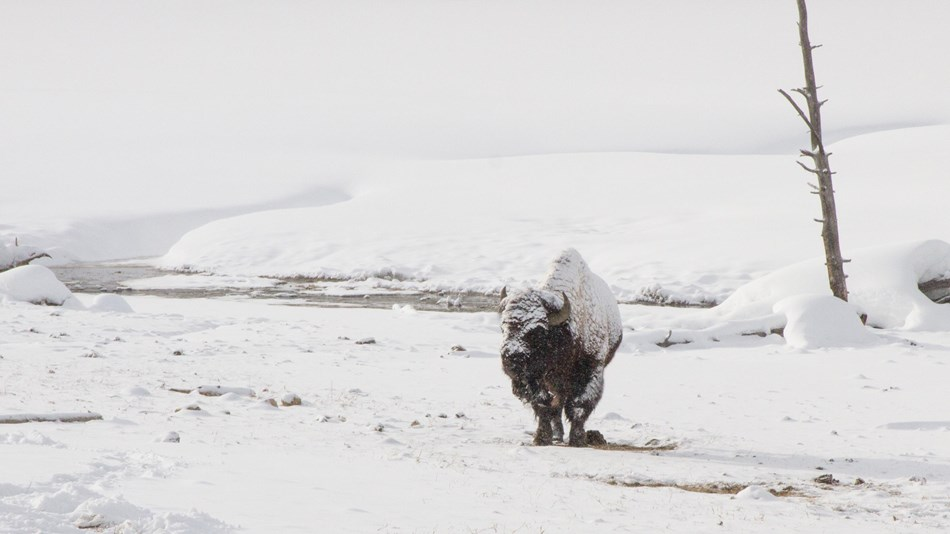 A lone bison covered in snow by a river