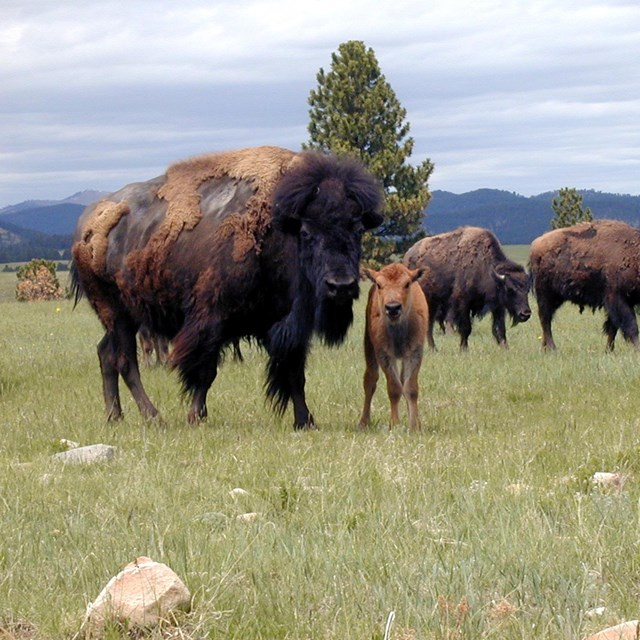 A bison, her calve, and their herd behind them