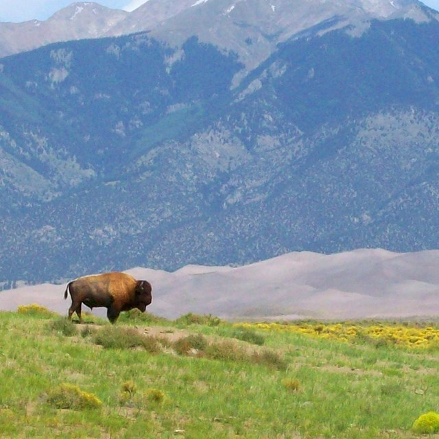 Lone bison in grassland in front of sand dunes and mountains