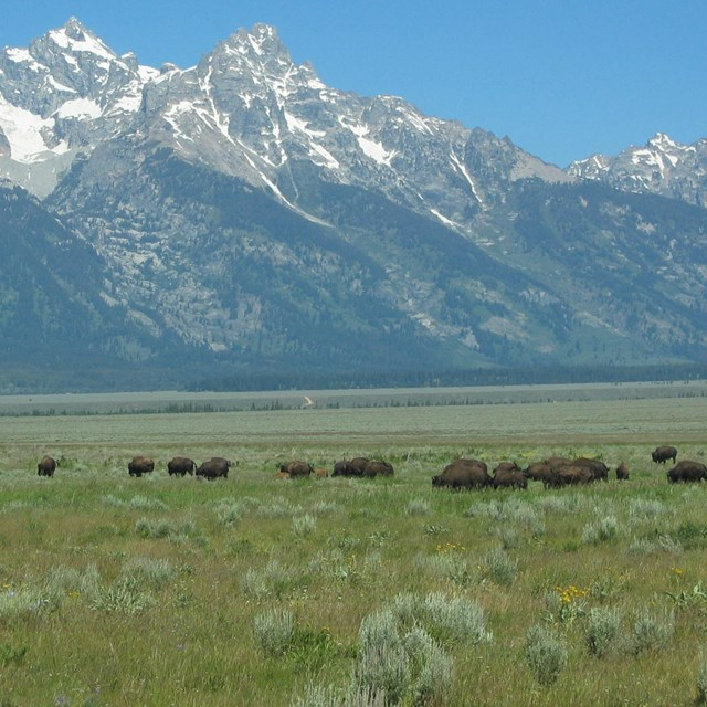 Herd of bison in grassland with mountain backdrop