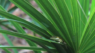 a green lizard lounging on a palmetto leaf