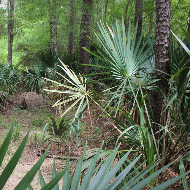 palmettos growing in the woods