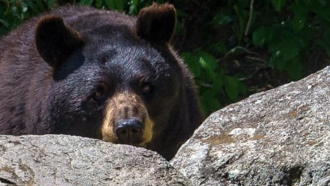 A black bear peering over a rock