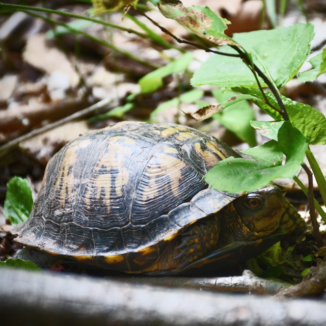 box turtle on the Bluestone