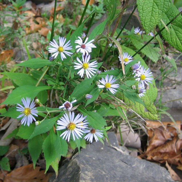 asters by the Bluestone River