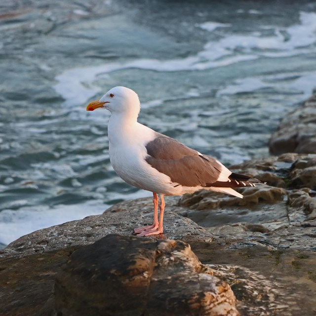 A white bird with brown wings and orange beak and webbed feet stands on the edge of a boulder.