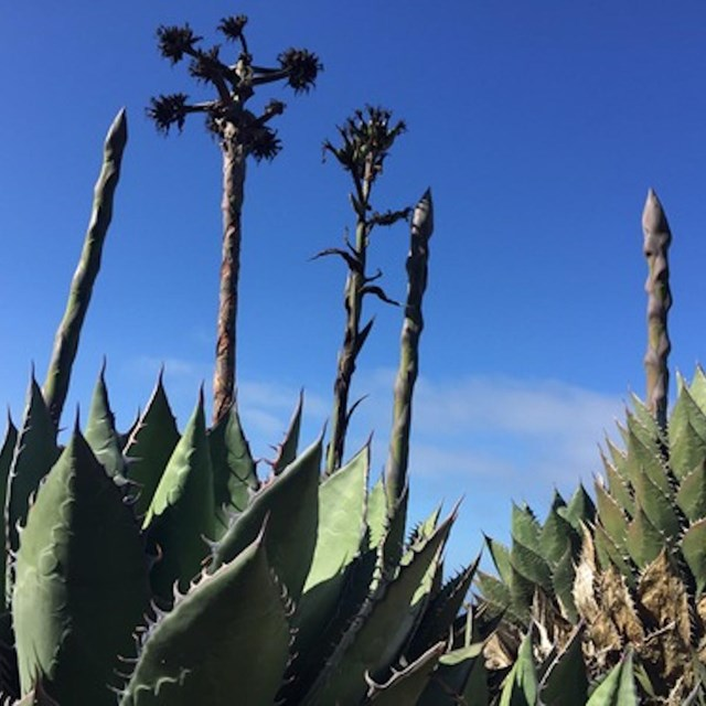Photo of Shaw's Agave
