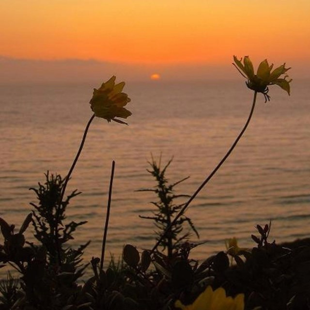 Sunset at Cabrillo with flowers in the foreground