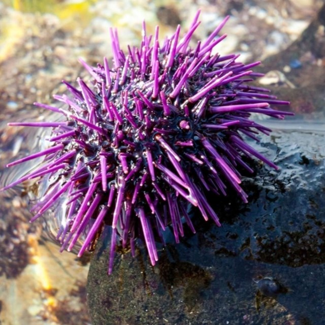 Sea Urchins in the tidepools