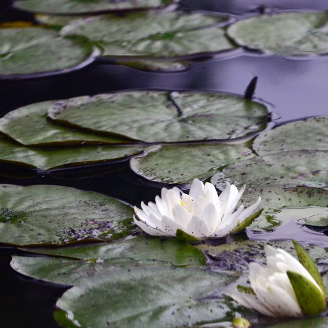 Lilies float on the dark surface of a pond.