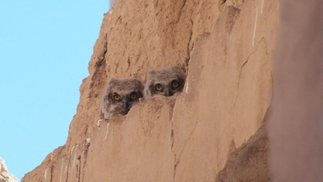 two fuzzy feathered baby Great Horned Owls perched on a ledge