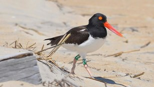 American Oystercatcher on beach