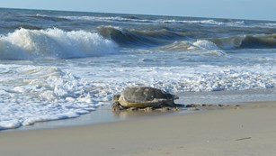 A loggerhead sea turtle makes her way back to the ocean after nesting