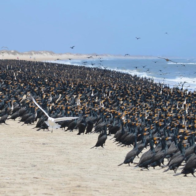 Large flock of cormorants along the beach