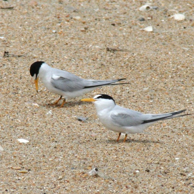 Two Least Terns