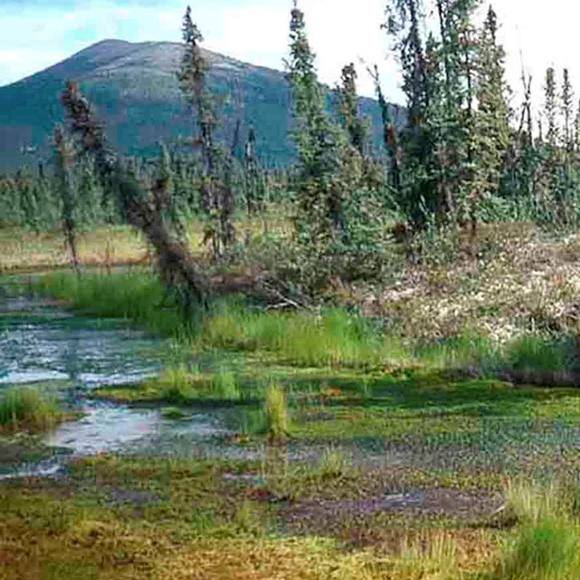 Permafrost thaw in a boreal forest makes trees lean.