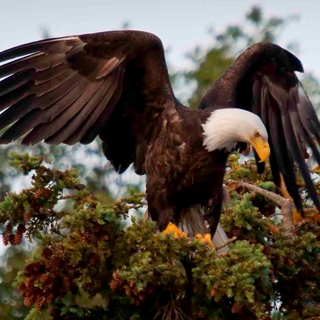 Bald eagle at the top of a tree.