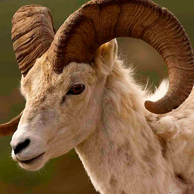 A close up of a Dall's sheep.