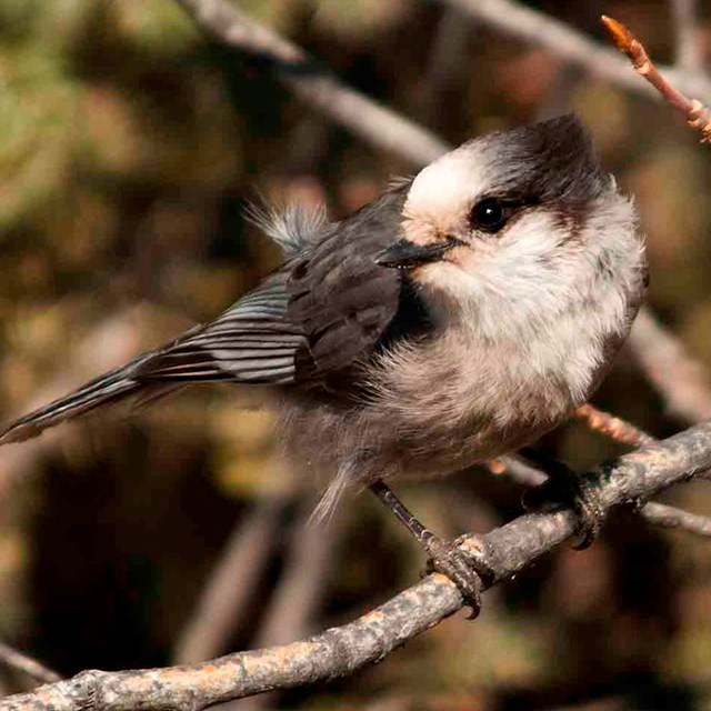 A gray jay perched.